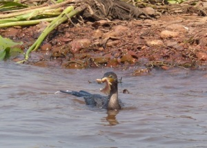 Cormorant surfacing with a large fish