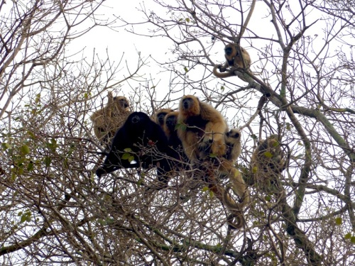 "The family of Howler Monkeys that woke us up with their ""singing"" at crack of dawn"