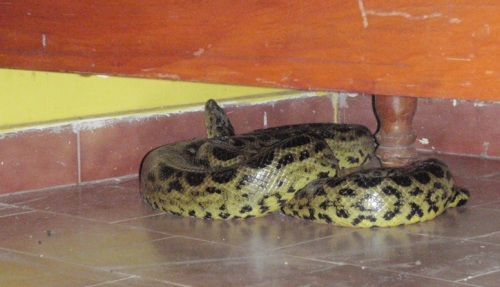 Another anaconda encounter - this one had crept into one of the cool(er) hostel rooms at the camp