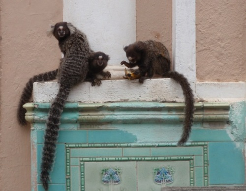 Marmosets roam around eating what they can find like squirrels in London