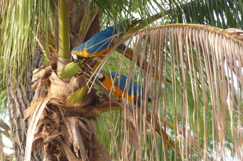 Blue and yellow macaws pause for a snack in a tree next to the van