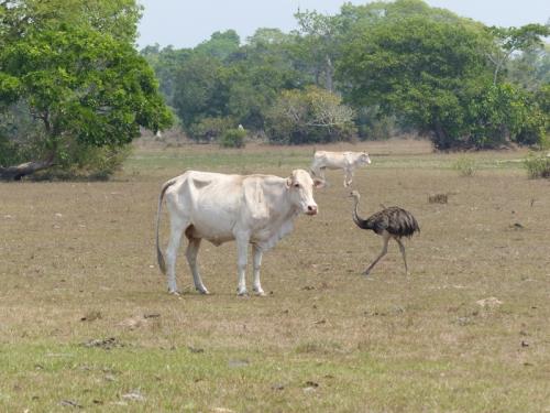 Rhea passing through the ranch