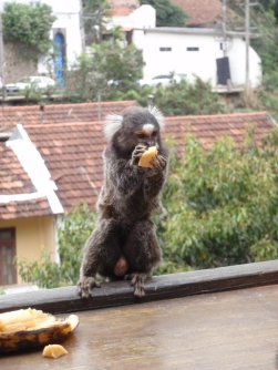 Marmosets being fed on the balcony of a restaurant