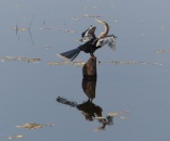 An Anhinga shows off it's amazing long neck