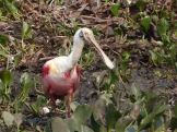 Beautiful but bizarre Spoonbill