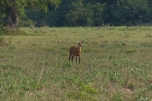 A Red Brocket in the distance