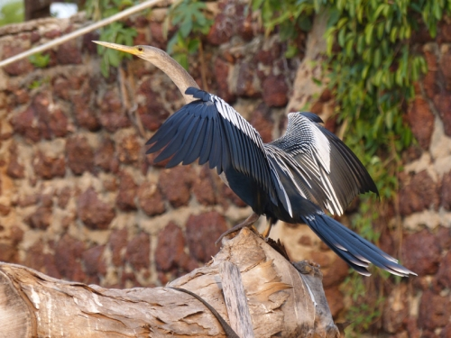 An Anhinga watches for side-catch opportunities at the hotel