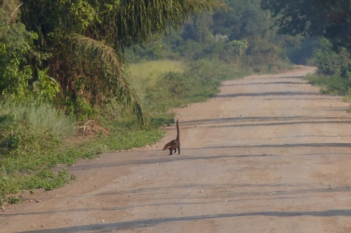 Coati crossing the road in front of us