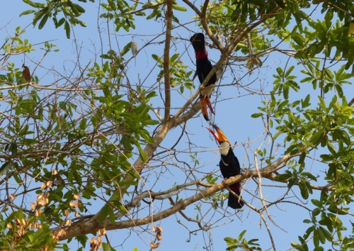 A pair of Toucans have an altercation in a tree above us
