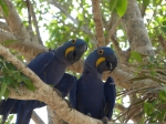 Hycinth Macaws asking us to turn the heat down
