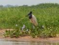 The elegant gentlemen of the river - Jabiru Stork