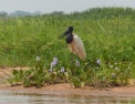 The elegant gentlemen of the river - Jabiru Stork