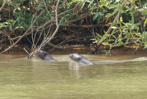 Following a group of Giant Otters swimming down river