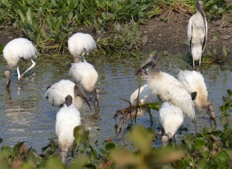 Wood storks clean out a small pool of fish