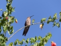 This beautiful humming bird visited the flowers in the hostel garden and became a particular friend