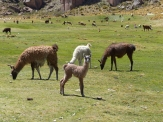 Young llamas rely on smell to find their mothers