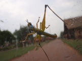 Caught in the rain - grasshopper on the windscreen