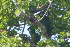 Macaws trying to hide in the tree above us, but they are too noisy to miss!