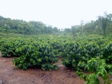 Our first coffee plantation - a small one at Bellavista