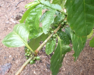 Coffee still on the plant