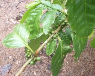 Coffee still on the plant
