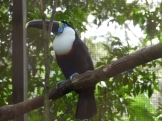 A rescued rare Cuvier's toucan