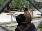 A monkey watching the monkeys!