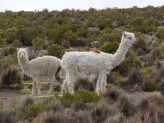 More lovely Alpacas - irresistible!