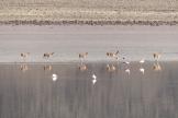 Flamingos and vicuñas