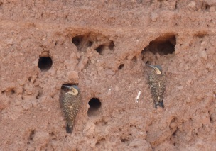 Andean woodpeckers nesting in mud walls