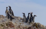 Our first sighting of Humboldt penguins