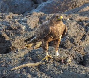 A Galapagos Hawk with a small Marine iguana