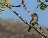 A female flycatcher