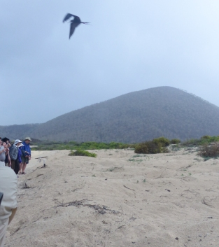 And we had to stand back and watch as nature had its way and a frigatebird picked one off