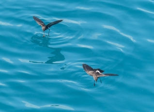 Eliot's Storm Petrels can't get their feathres wet, so do this amazing dance where they dip their feet into the surface of the water, like a delicate dance