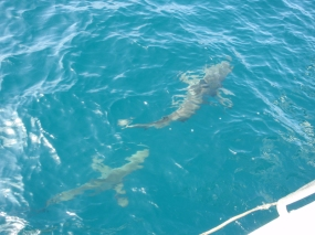 Sharks gathering next to and behind the boat