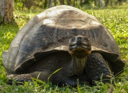 Where there is a large population of giant tortoises
