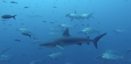 They were often joined by the odd Silky or Galapagos shark