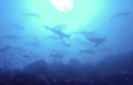 Each dive at the northern islands, we dropped straight down into a school of Hammerhead sharks