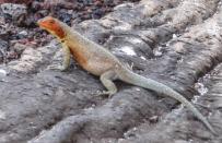 A Lava Lizard