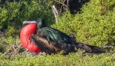 A male frigatebird in full mating display