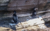 Some Flightless cormorants hiding from the hot sun