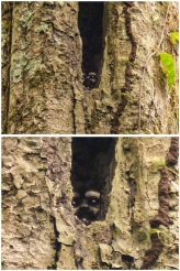 How Roli spotted this Night Monkey peering out from high up in a hollow in a tree is a mystery to us...