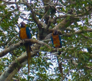 A pair of Blue and Yellow Macaws in the distance (full zoom)