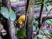 A cocoa pod ripe and ready for picking