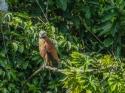 Collared Hawk