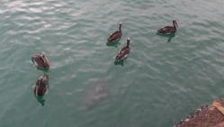 Pelicans and sea turtles gather around the boats