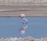 Chilean Flamingo near San Pedro de Atacama, Chile