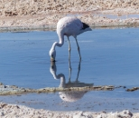 A second species of flamingo at San Pedro - an Andean Flamingo