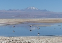Flamingos at San Pedro de Atacama, Chile